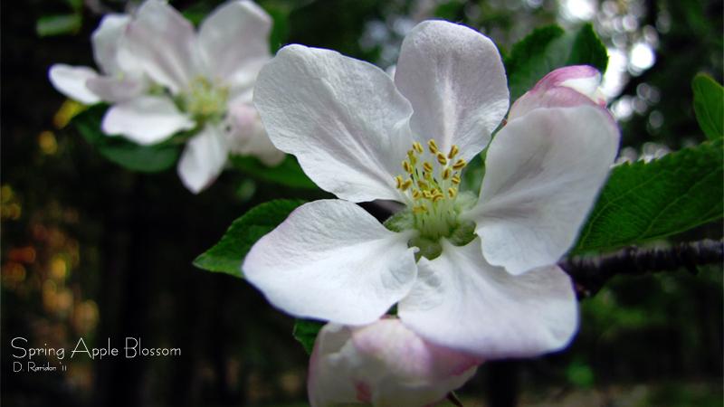 appleblossomfb11